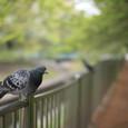 人の良さそうな鳩に50mmで段々近付いて行った。その2