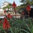 象舎跡に咲くアロエベラ
