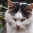 柳森神社のニャン相の悪いネコ